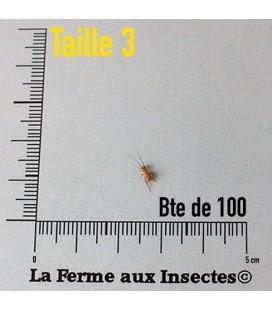 Grillons Domestiques T3 Petits (Boite)