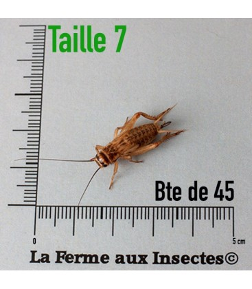 Grillons Domestiques T7 SubAdultes (Boite)
