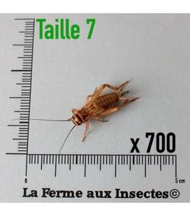 Grillons Domestiques T7 SubAdultes (x 700)