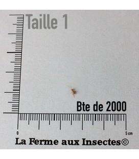 Grillons Domestiques vivants Micro T1 (x 2000)