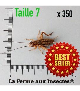 Grillons Domestiques T7 SubAdultes (x 350)