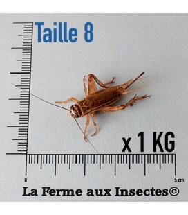 Grillons Domestiques T8 Adultes (1 kilo)