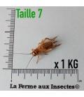 Grillons Domestiques T7 Sub-Adultes (1 kg)