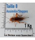 Grillons Assimilis/steppes T8 Adultes (1 kilo)
