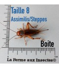 Grillons Assimilis/steppes T8 Adultes (Boite)