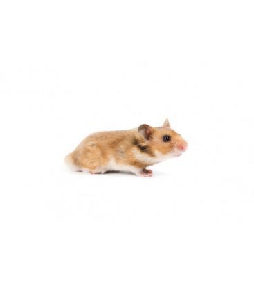 Hamster Doré Poils courts (Unité)