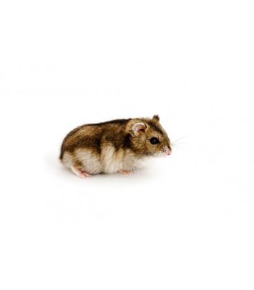 Hamster Hongrois (Unité) Uniquement retrait dépôt