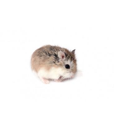Hamster Roborowski (Unité) Uniquement retrait dépôt