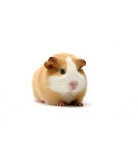 Cochon d'inde Mâle (unité) poils courts
