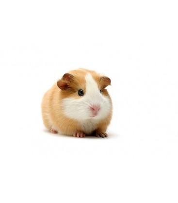 Cochon d'inde Mâle (unité)