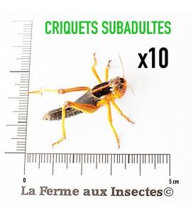 Criquets Subadultes (Boite de 10)