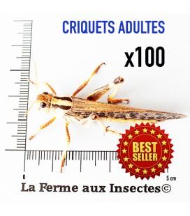 Criquets Adultes (Carton de 100)
