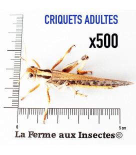 Criquets Adultes (Carton de 500)
