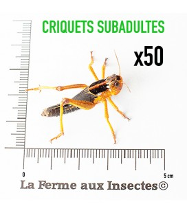 Criquets Subadultes (Carton de 50)