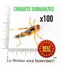 Criquets Subadultes (Carton de 100)