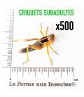 Criquets Subadultes (Carton de 500)