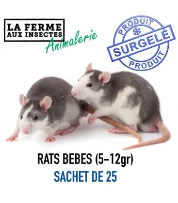 Ecopack bébé rats par 25