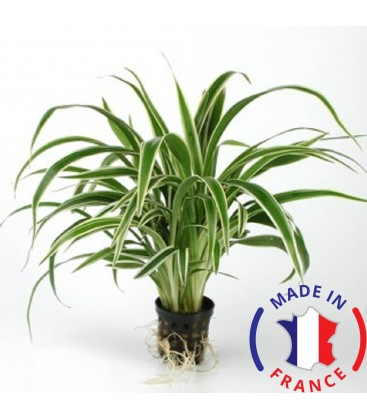 CHLOROPHYTTUM Bechettii (Plante terrarium tropicaux)