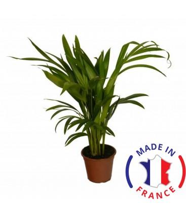 ARECA PALMIER (Plante térrarium tropicale)