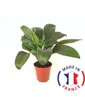 Cordyline Compacta Red (Plante terrarium tropicaux)