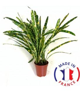 CROTON Pictum (plante terrarium tropicale)