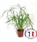 CYPERUS Alternifolius (plante terrarium)