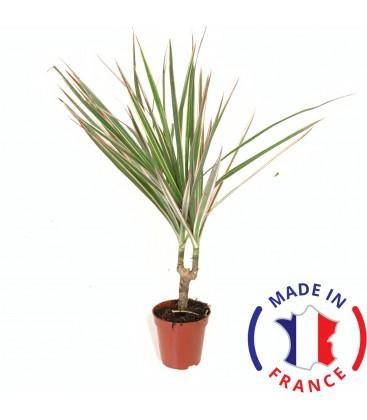 DRACAENA Marginata Canne (plante terrarium)
