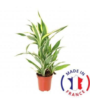 DRACAENA Sanderiana (plante terrarium)