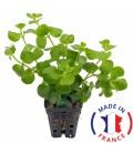 LYSIMACHIA Nummularia jaune (plante terrarium)