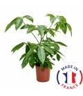 SCHEFFLERA Vert (plante terrarium)