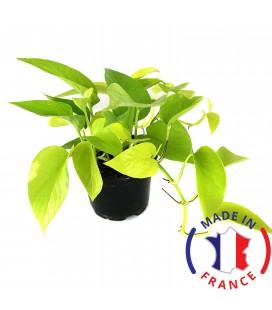 SCINDAPSUS Aureus Pothos (plante terrarium)