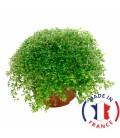 SOLEIROLIA Helxine (plante terrarium)