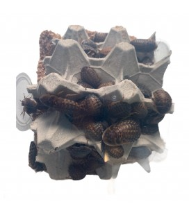 Blattes Dubias sub-Adultes (1 kg)
