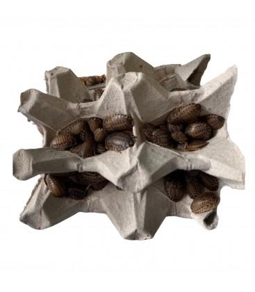 Blattes Dubias Moyennes (1 kg)