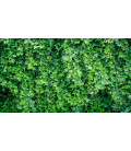 LIERRE vert (Plante de terrarium)