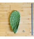 Raquette de Figuier de barabrie (+/- 1 à 2 kilos pièce)