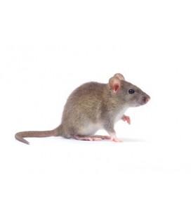 10 Rats Vivants S 25 / 50 gr