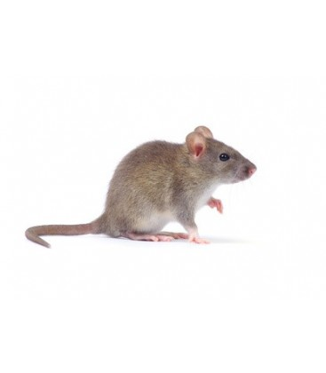 5 Rats Vivants XXL + de 250 gr