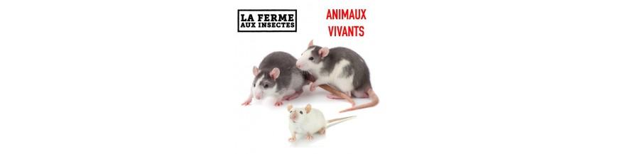 RONGEURS VIVANTS (Souris et Rats) jusqu'au 2 juin uniquement en retrait à la ferme pas d'expédition