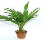 areca plante de terrarium