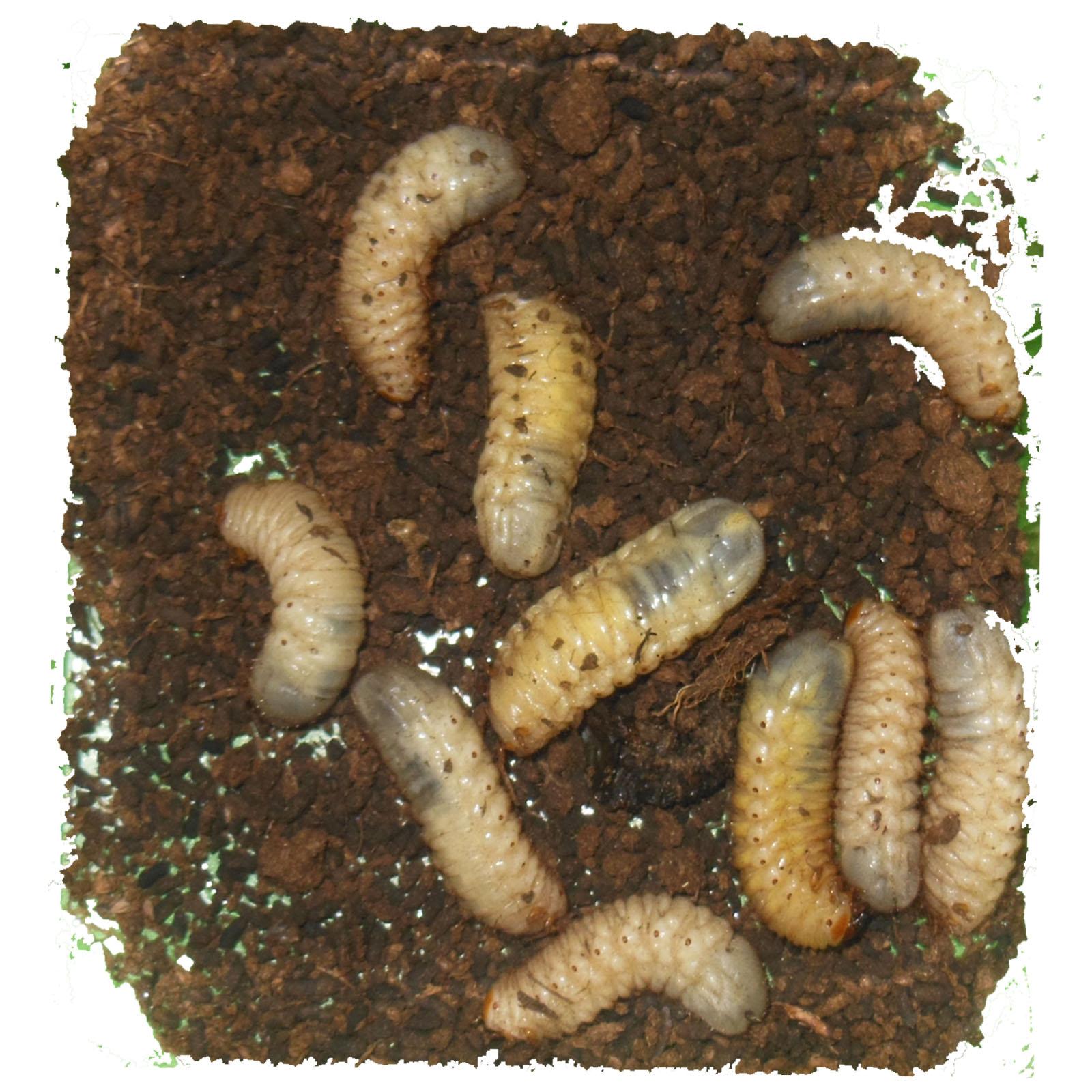 boite de 9 larve de dolas